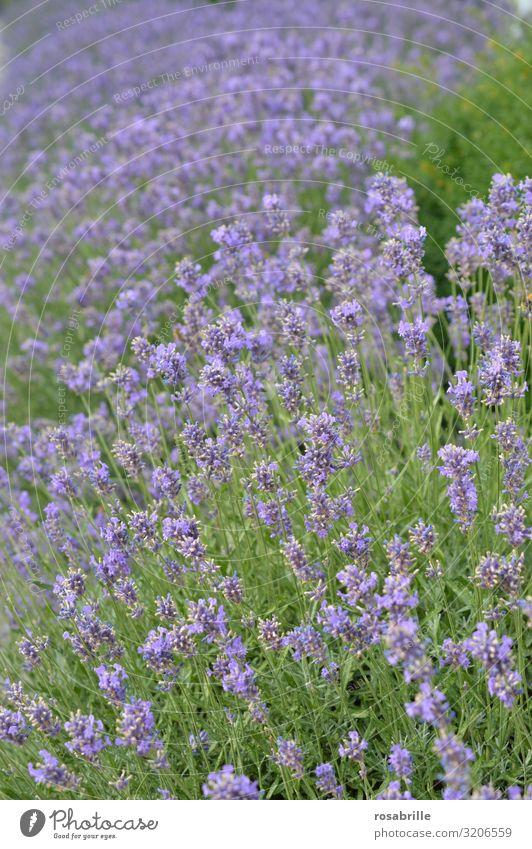 hier riechts doch nach...  | Lavendel Lavendelfeld Pflanze blühen lila fliederfarben Natur natürlich Flora Umweltschutz Ökologie Duft Geruch draußen Felder