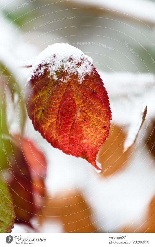Erste Schneeflocken auf buntem Laub Natur Pflanze Herbst Winter Eis Frost Blatt Brombeerblätter Wald kalt natürlich braun grün rot weiß Herbstlaub Herbstfärbung