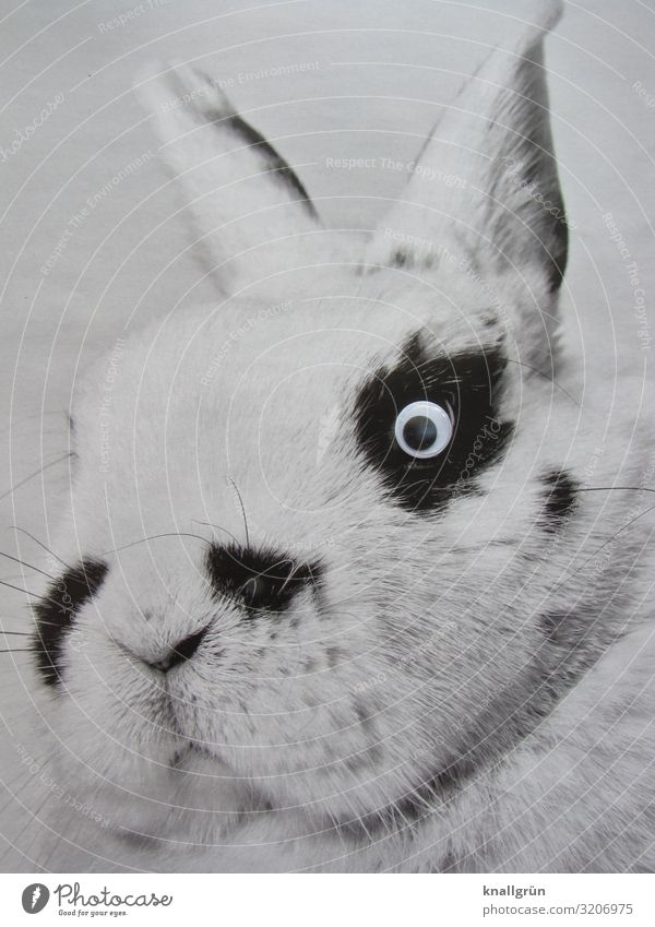 Zwergschecke Tier Haustier Tiergesicht Hase & Kaninchen 1 Kinderaugen Blick kuschlig niedlich schwarz weiß Gefühle Tierliebe Verantwortung Natur Fell