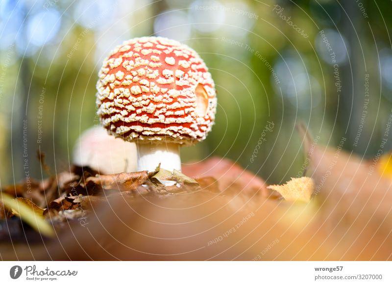 Glückspilz Herbst Schönes Wetter Wald Glücksbringer stehen Wachstum frisch klein mehrfarbig Pilz Fliegenpilz Waldboden Herbstlaub Makroaufnahme bodennah