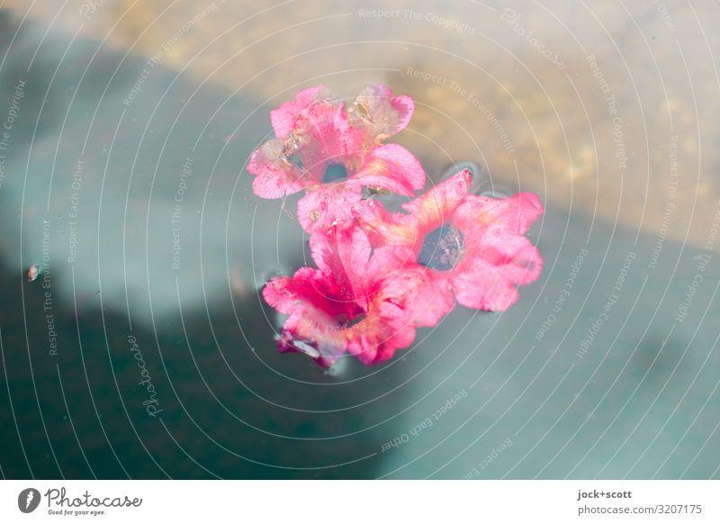 Blüten auf Wasser schön Blume Erholung klein Schwimmen & Baden rosa Stimmung Zufriedenheit ästhetisch Idylle Romantik Blühend Vergänglichkeit Klima einfach