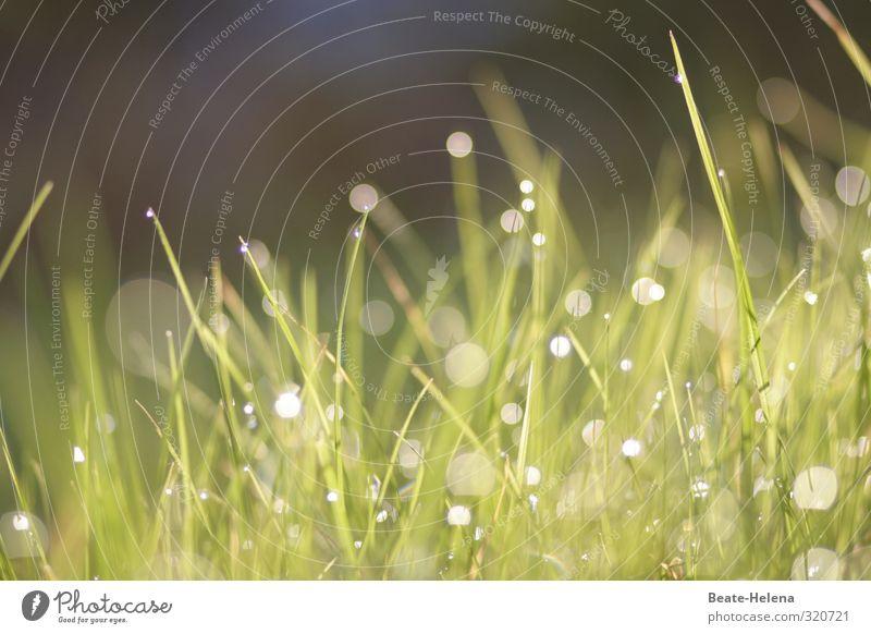 Es hellt auf - der Sommer kommt Natur grün schön Pflanze Freude Wiese Gras glänzend leuchten frisch ästhetisch Wassertropfen Tau loyal