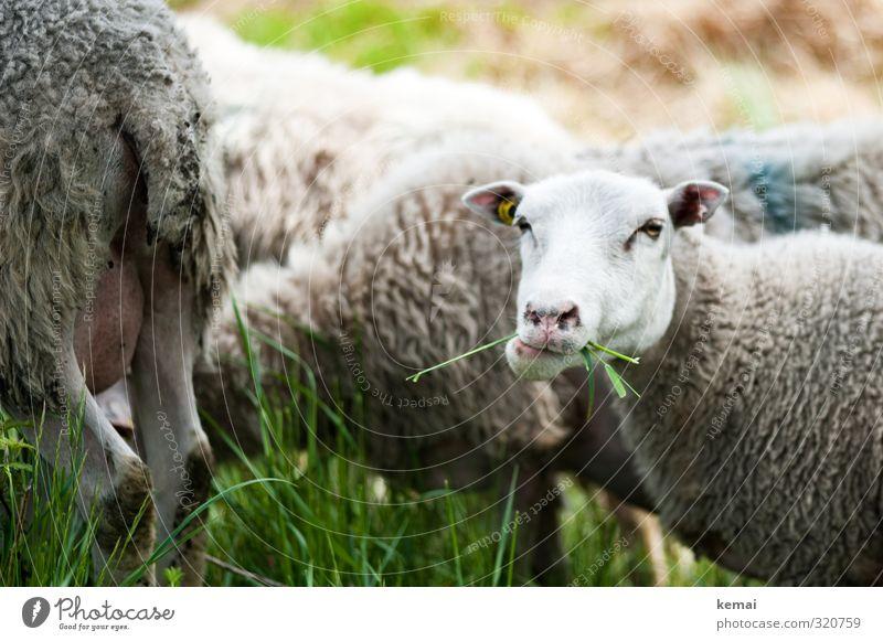 Mit vollem Mund im Helgiland Gras Grünpflanze Tier Nutztier Tiergesicht Fell Schaf Schafherde 1 Herde Fressen Blick Kauen Schaffell Schwanz Ohr Farbfoto