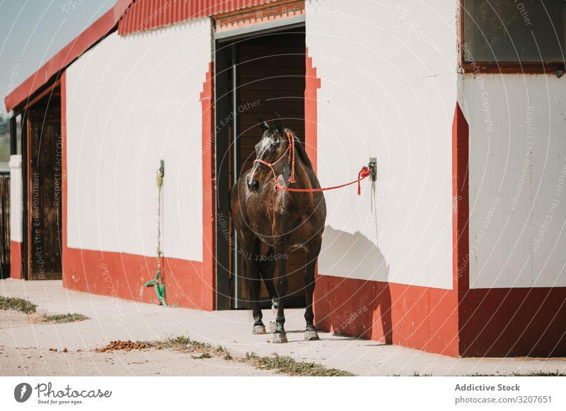 Pferd am Eingang zum Stall bei Sonnenlicht Pferdestall Ranch Kabelbaum pferdeähnlich anleinen Reiterin Säugetier Tier Bauernhof Sattelkammer Sommer Sport