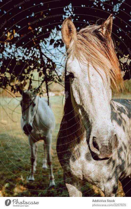 Auf der Wiese weidende Pferde Feld Herde Gras Berge u. Gebirge schön Tier Natur trocknen Bauernhof Säugetier pferdeähnlich Reiterin Hengst Saison Stute Freiheit