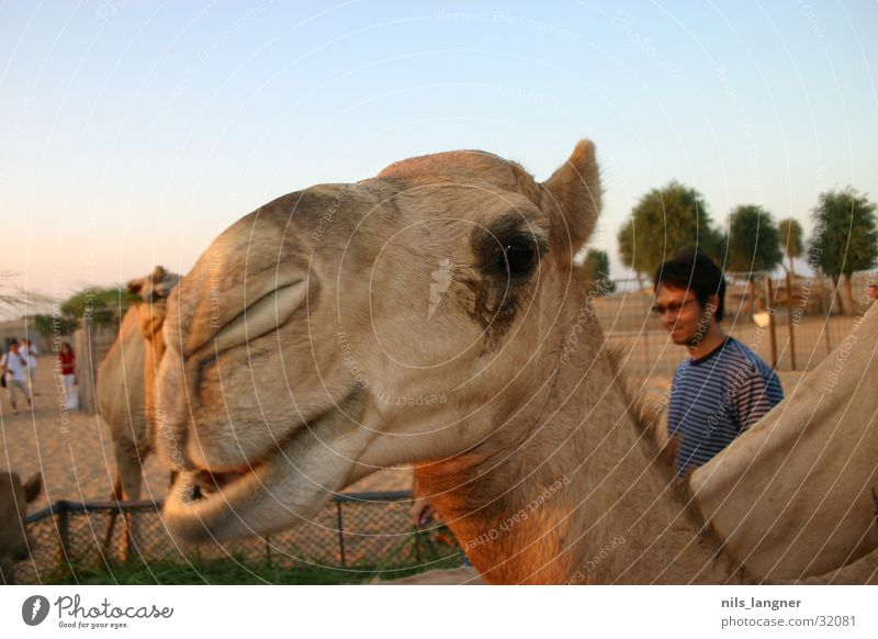 Kamele in Dubai 2 Nahaufnahme Himmel grinsen Wüste