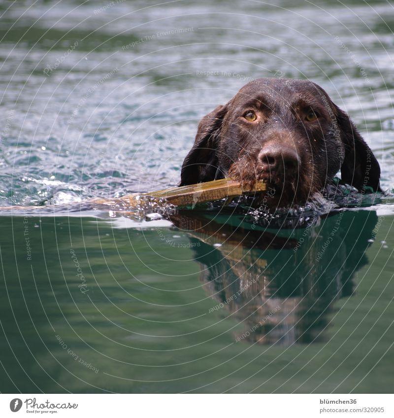 Wassersport Hund Tier Bewegung Schwimmen & Baden See Freundschaft nass Freundlichkeit festhalten Fell Tiergesicht sportlich Vertrauen hören Jagd Wachsamkeit