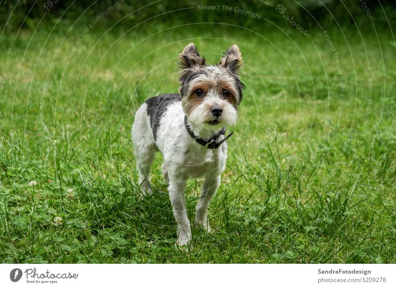A little terrier with short hair out in the meadow Natur Gras Wiese Tier Hund 1 laufen Liebe adorable adorable animal animal themes beautiful breed canine cute