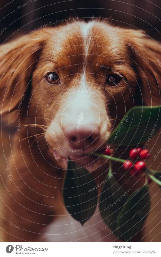 Wanna kiss under the mistletoe? Pflanze Mistelzweig Tier Haustier Hund 1 weich grün orange rot Nova Scotia Duck Tolling Retriever tragen stoppen