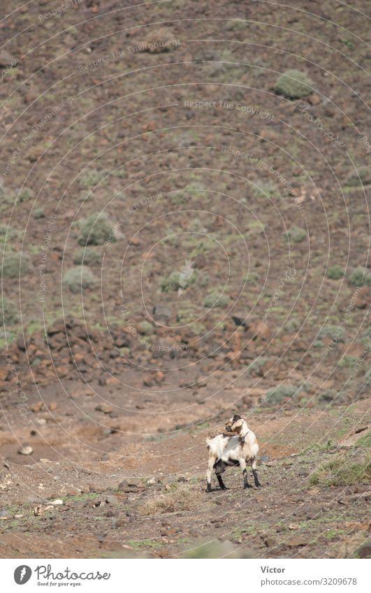 Ziege (Capra aegagrus hircus). Jandia. Fuerteventura. Kanarische Inseln. Spanien. Tier wüst Nutztier 1 Einsamkeit Tiere trocken Biodiversität Kanaren