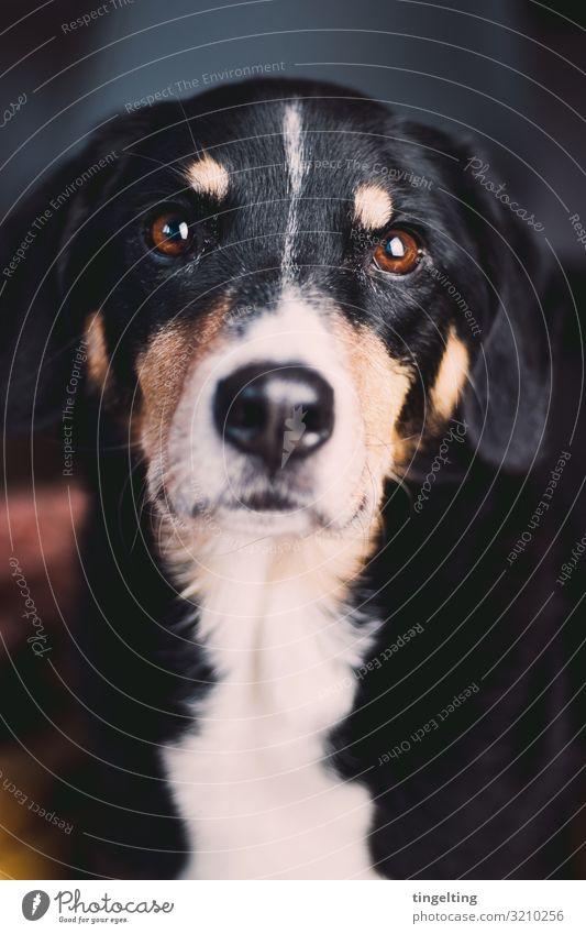 Diese Augen Tier Haustier Hund 1 beobachten glänzend Häusliches Leben braun schwarz Berner Sennenhund Treibhund Arbeitshund Hundenase schön betteln Liebe Fell