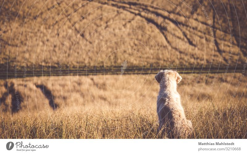 Golden Retriever schaut auf die Felder Umwelt Natur Landschaft Herbst Tier Haustier Hund 1 beobachten sitzen warten Unendlichkeit natürlich braun Tierliebe