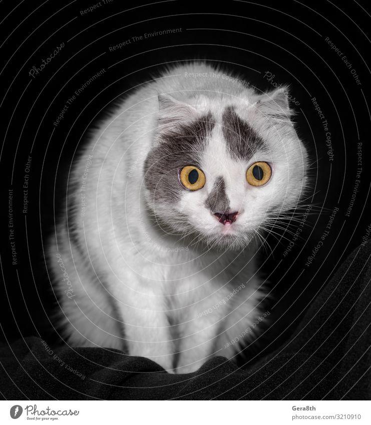 schwarz-weiße Katze mit gelben Augen auf schwarzem Hintergrund in Nahaufnahme Tier Pelzmantel Haustier sitzen dunkel lustig Überraschung große Augen detailliert