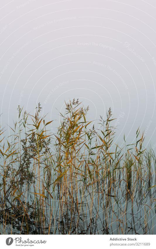 Getrocknete Pflanzen im Sumpf Sumpfgebiet Wasser Nebel Wachstum trocknen Finnland Landschaft Natur See Teich Flora Vegetation Dunst vage Umwelt Ökologie niemand