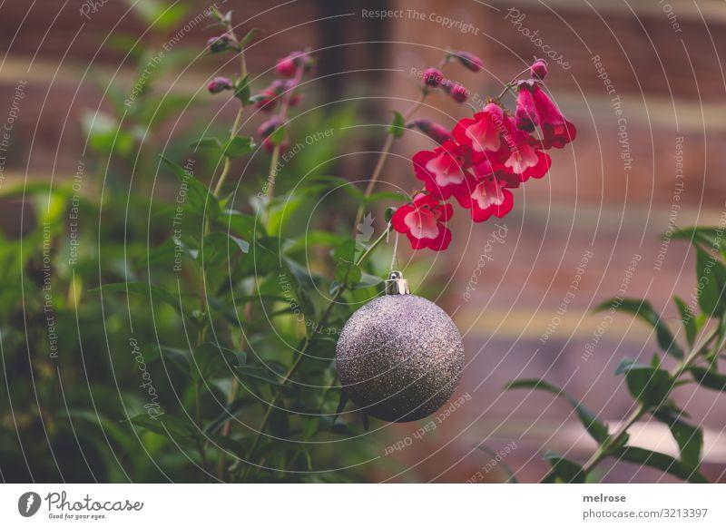 Christbaumkugel im Herbst Natur Weihnachten & Advent Pflanze Farbe schön grün rot Blume Blatt Lifestyle Religion & Glaube Blüte Stil Garten braun