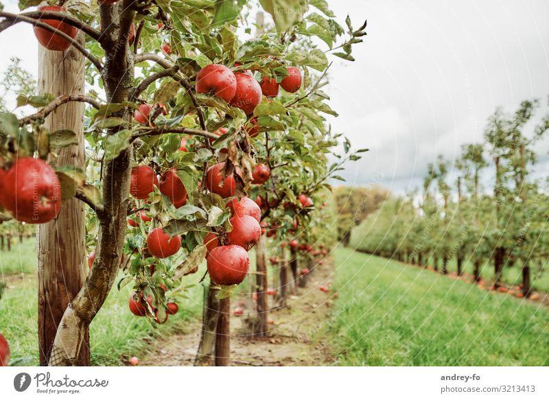 Apfelplantage Natur Sommer Pflanze grün rot Baum Wolken Gesundheit Herbst Umwelt Garten Idylle Erfolg Lebensfreude reif