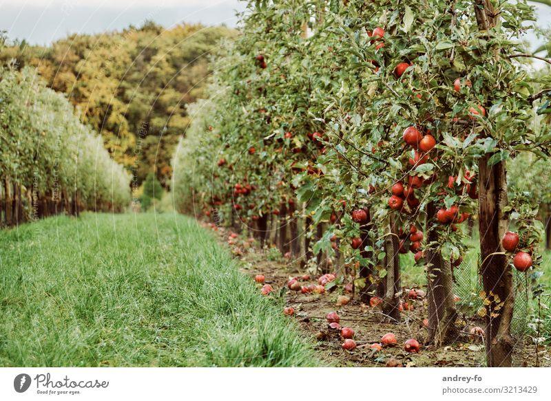 Apfelplantage Sommer Pflanze grün rot Baum Wald Gesundheit Herbst Umwelt Garten Idylle Erfolg Ernte Duft reif