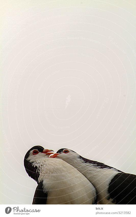 Lovebirds Natur Himmel Tier Vogel Taube 2 Tierpaar Küssen Zusammensein schwarz weiß Gefühle Glück Schutz Geborgenheit Sympathie Liebe Tierliebe Verliebtheit