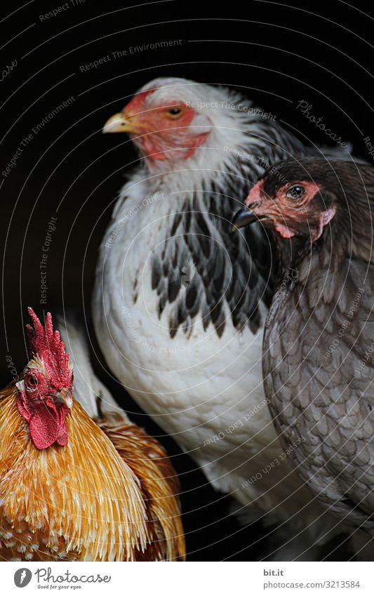 Zwei Hühner und ein Hahn Ferien & Urlaub & Reisen Tourismus Umwelt Natur Tier Haustier Vogel 3 Tiergruppe beobachten hocken Blick sitzen Tierliebe Käfig