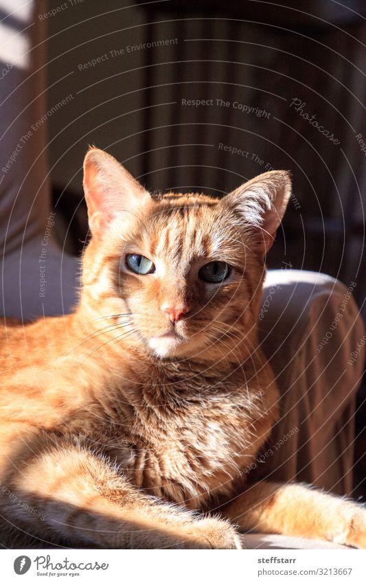 Orangefarbene Hauskatze entspannt sich in der Sonne auf einem Stuhl Tier Haustier Katze Tiergesicht 1 blau orange orange Katze entspannte Katze grüne Augen