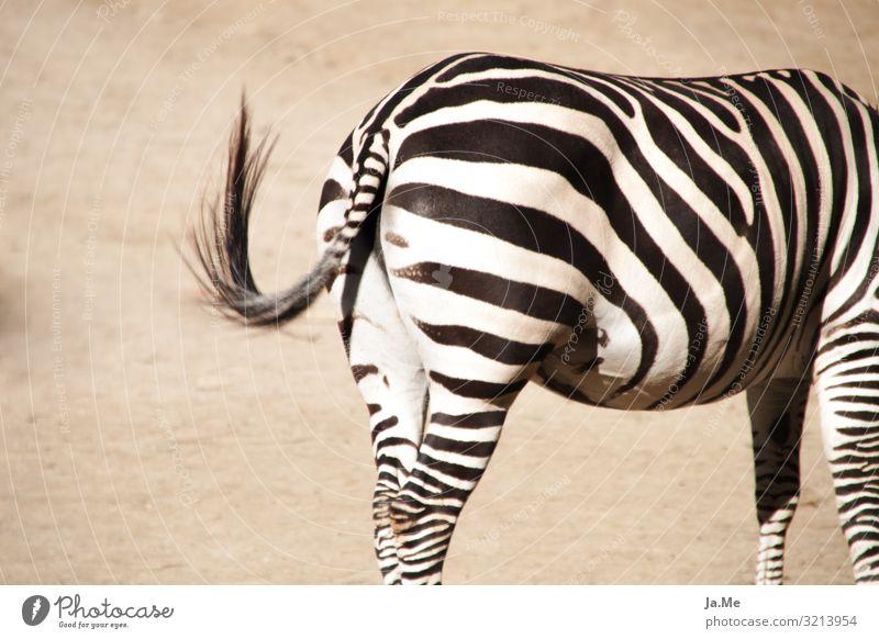 Gestreifte Kehrseite Natur Tier Erde Sand Sommer Schönes Wetter Wärme Dürre Nutztier Pferd Fell Zoo Zebra Zebrastreifen 1 schaukeln Erotik nah trocken braun