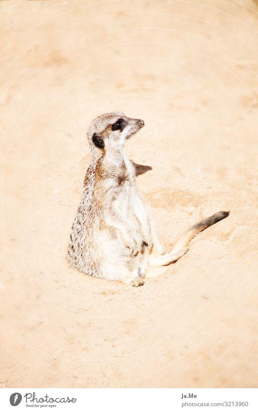 Erstmal setzen lassen Umwelt Natur Tier Erde Sand Sonne Wärme Dürre Wüste Wildtier Katze Tiergesicht Fell Pfote Zoo Säugetier Erdmännchen Nagetiere 1 beobachten