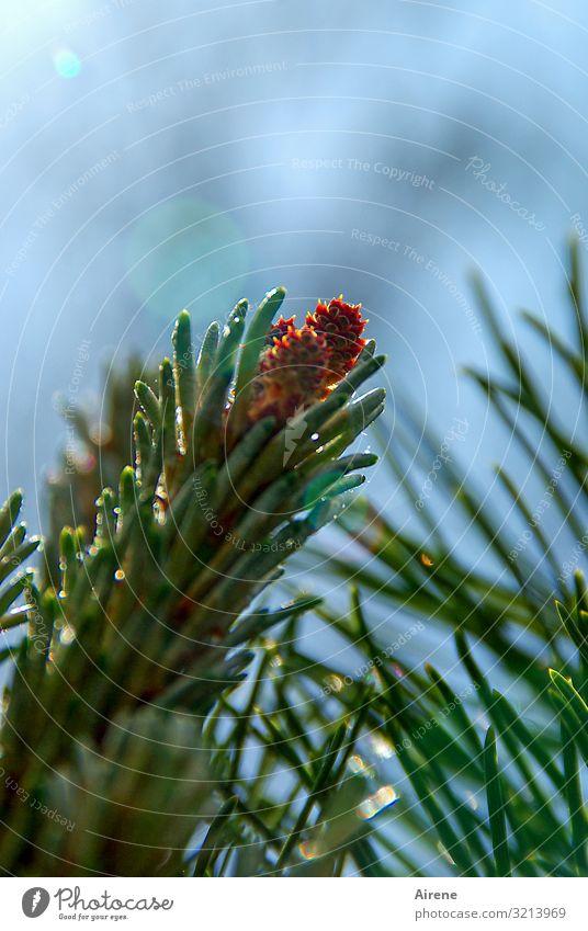 draußen auf den Tannenspitzen Himmel Schönes Wetter Baum Nadelbaum Tannenzapfen Tannenzweig glänzend Wachstum hoch klein natürlich neu blau grün orange