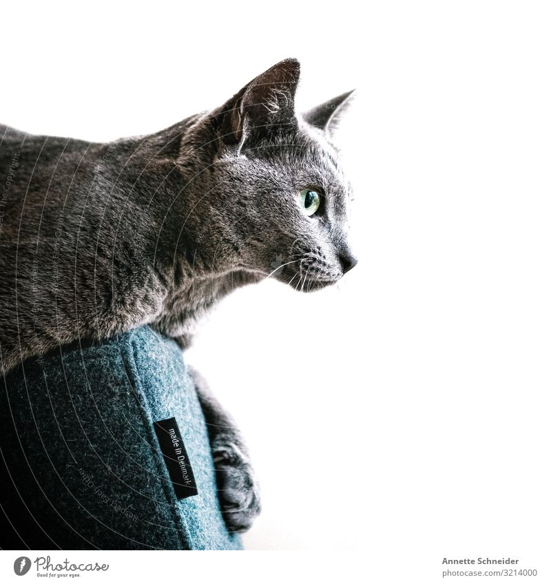 Katze auf Sessel Haustier 1 Tier sitzen blau grau Farbfoto Innenaufnahme Hintergrund neutral Morgen Blick nach vorn