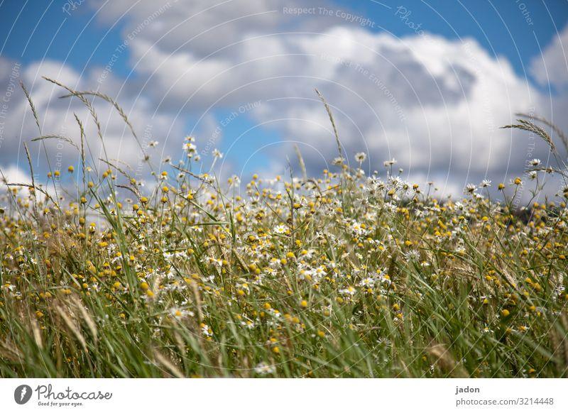 einfach sommer. Wiese grün Gras Sommer Blume Blüte Gänseblümchen Natur Pflanze Außenaufnahme weiß Farbfoto Blühend Blumenwiese Menschenleer Unschärfe Himmel