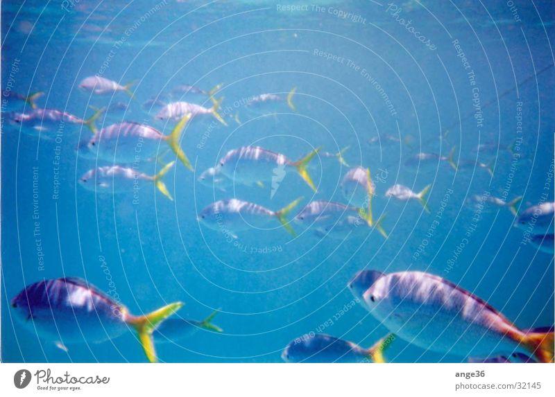 Fische Meer Australien Great Barrier Reef Indischer Ozean Verkehr Wasser Schwarm blau