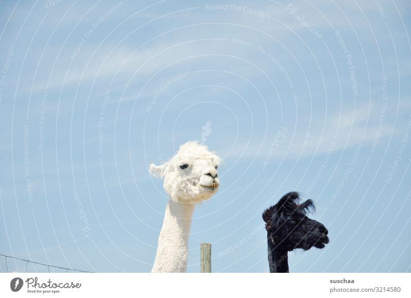 lamaköpfe Lama Tier Haustier Nutztier Kamel spucken Blick Paarhufer Herde tiergestützte Therapie Bauernhof Hof Weide Gehege Zaun Zaunpfahl Fell Natur Neugier