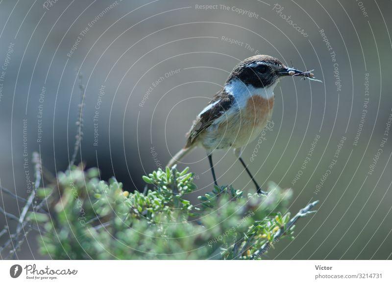 Kanarisches Schwarzkehlchen (Saxicola dacotiae). Männchen mit Futter für seine Küken. Esquinzo-Schlucht. La Oliva. Fuerteventura. Kanarische Inseln. Spanien.