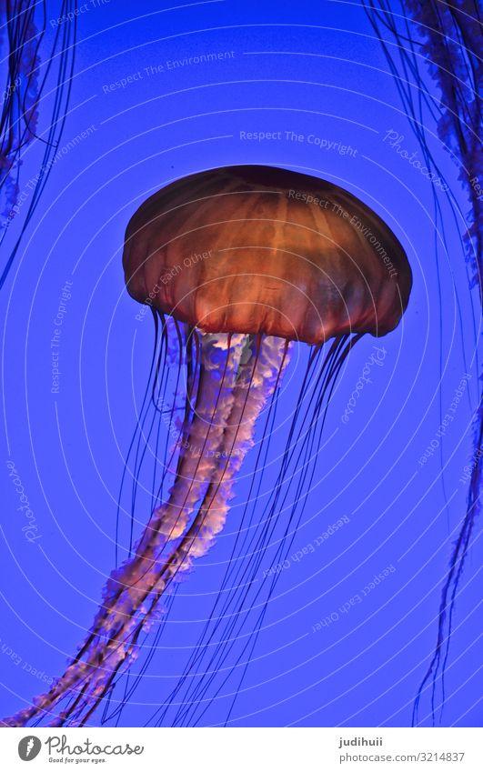 Qualle Meer Aquarium Unterwasseraufnahme Unterwasserwelt Tentakel giftig bedrohlich blau orange floating Wasser Tier Farbfoto Natur Schwimmen & Baden Schweben