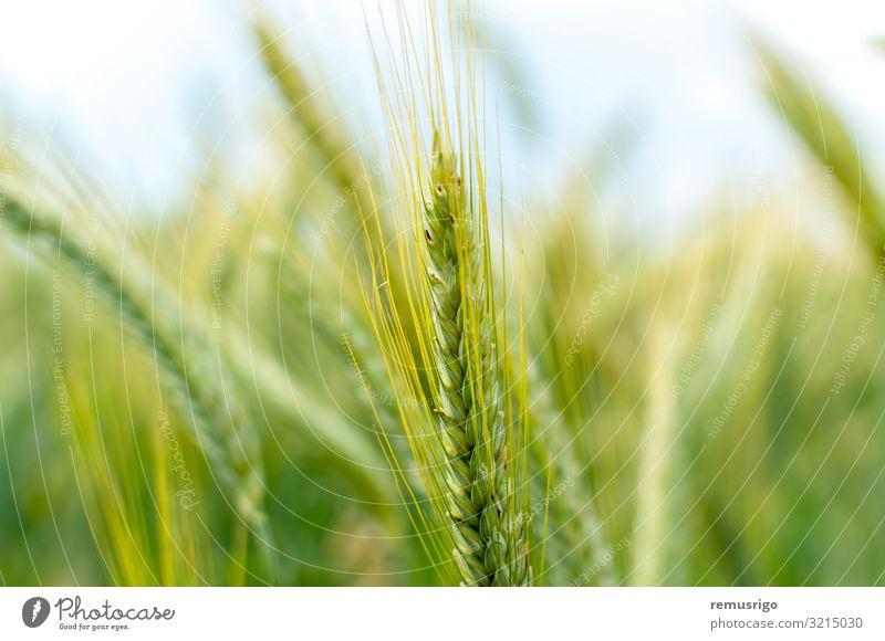 Nahaufnahme von grünem Weizen Diät Natur Landschaft Pflanze frisch 2014 Timisoara Ackerbau Müsli Feldfrüchte Ohr Bauernhof Mehl Lebensmittel Korn Ernte