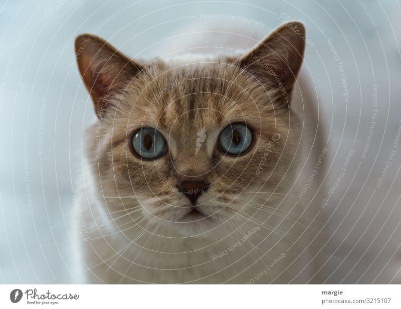 Eine wunderschöne Katze mit blauen Augen Katzenauge Katzenaugen Hauskatze Haustier Tierporträt Tiergesicht Schnurrhaar Oberkörper Totale Zentralperspektive