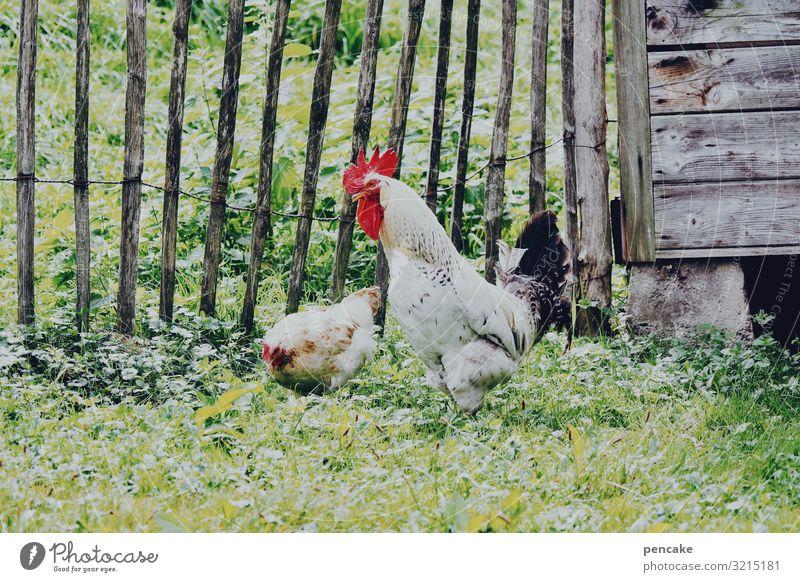 und... hast du es? Natur Sommer Schönes Wetter Gras Garten Tier Nutztier 2 Idylle Holz Stall Hühnervögel Haushuhn Hahn picken Bauernhof Holzzaun Tierpaar Suche