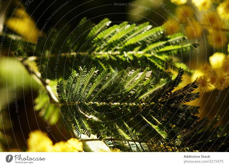 Zweige eines Nadelbaums im Park Konifere Baum wachsend Frühling Immergrün Blüte natürlich Garten Schatten filigran Pflanze sonnig tagsüber Vegetation Buchse