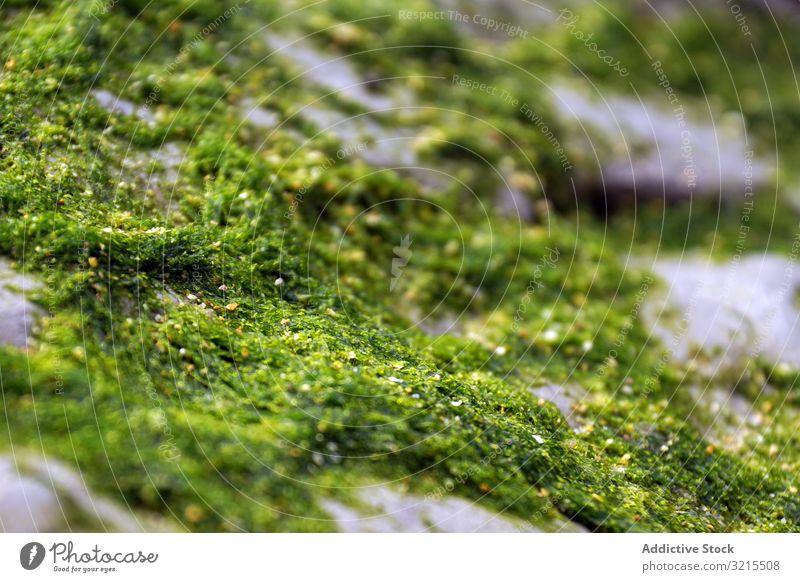 Nahaufnahme von grünem flauschigem Moos auf Stein natürlich Natur Wachstum nass schön Pflanze Flechten Wald Oberfläche Garbe Saison farbenfroh feucht Sporen