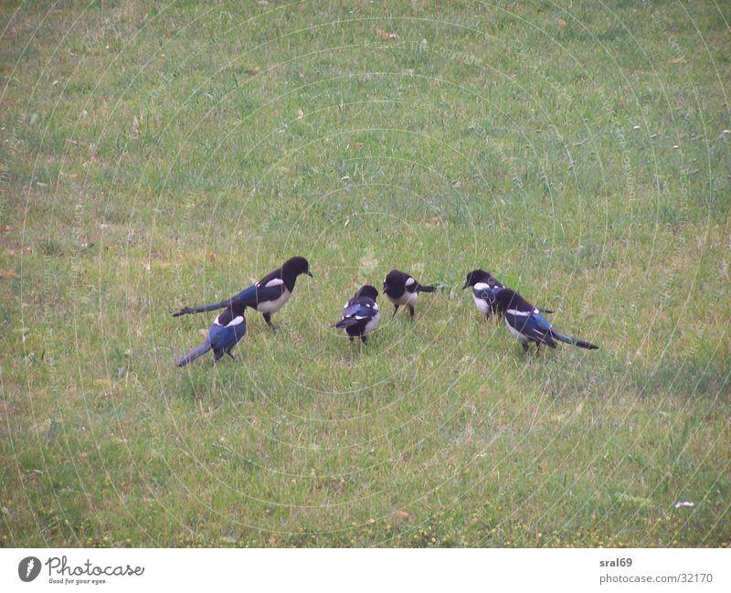 Sechs auf einen Streich Elster Vogel Wiese Gebet sechs auf einen Streich