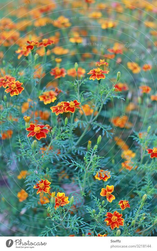 bienenfreundlich Umwelt Natur Pflanze Sommer Blume Blüte Gewürztagetes Tagetes Gartenpflanzen Gartenblume Sommerblumen Sommerblumenbeet Blumenbeet Blühend
