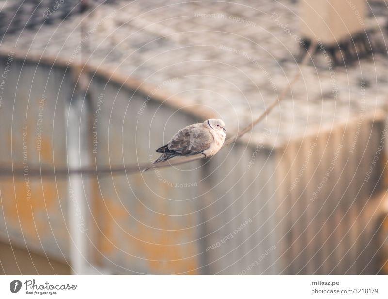 Taube an der Stromleitung Tier Vogel 1 beobachten sitzen Gedeckte Farben Außenaufnahme Menschenleer Freisteller Tag Licht Sonnenlicht Schwache Tiefenschärfe