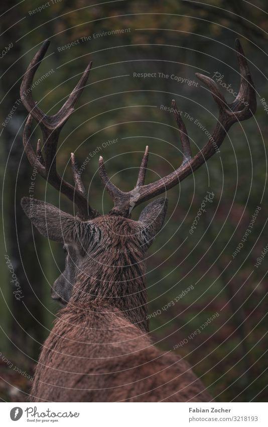 Hirschgeweih im Herbstwald Natur Landschaft Tier schlechtes Wetter Pflanze Wald Hirsche wandern braun grün Lebensfreude Frühlingsgefühle Freiheit