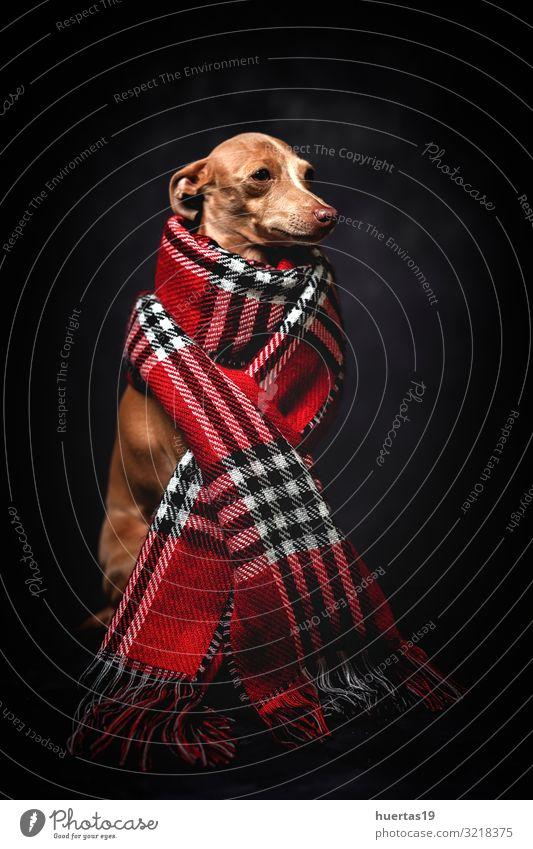 Hund schön rot Tier Winter dunkel schwarz Lifestyle Herbst lustig Glück klein Mode braun Freundschaft Bekleidung