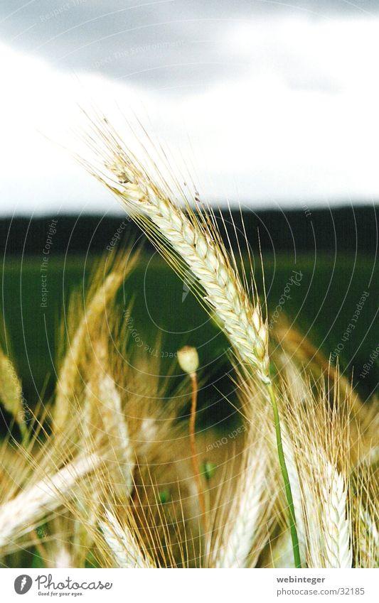 Weizen Natur Sommer Korn Weizenfeld
