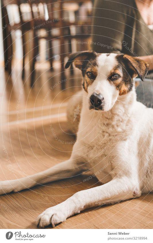 Hundeblick Tier Haustier 1 Gesundheit weiß braun liegen Blick in die Kamera braunes Auge Vorderbeine Pfote Farbfoto mehrfarbig Innenaufnahme Textfreiraum rechts