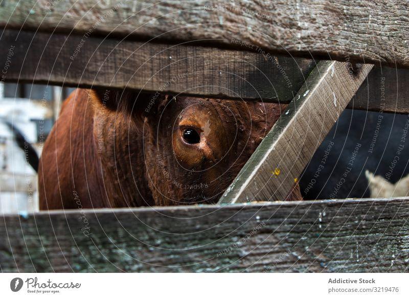 Kuh auf dem Bauernhof schaut in die Kamera Weide Ackerbau heimisch Tier Sattelkammer ländlich Natur Herde Korral Säugetier Rind weiden Ackerland Landschaft
