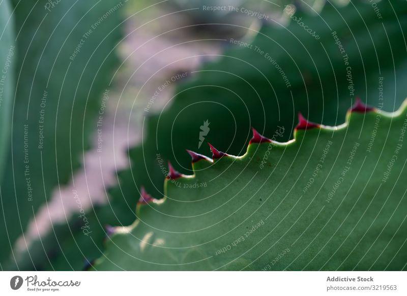 Dornen auf frischem Sukkulentenblatt Blätter wachsend Agave Tageslicht Botanik Pflanze Natur Sommer exotisch hell grün stachelig Kaktus wüst natürlich Flora