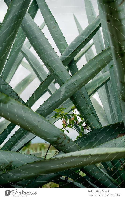 Lange sukkulente Pflanzenblätter Sukkulente Blätter lang stachelig Agave wachsend hoch grün Dornen Tageslicht Botanik Natur Sommer exotisch Kaktus natürlich