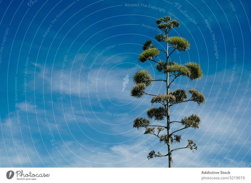 Blüte der Agavenpflanze Pflanze Blume grün hoch Blauer Himmel Cloud Natur Garten botanisch Sommer Vegetation Flora Kaktus Wachstum Sukkulente tropisch Grün