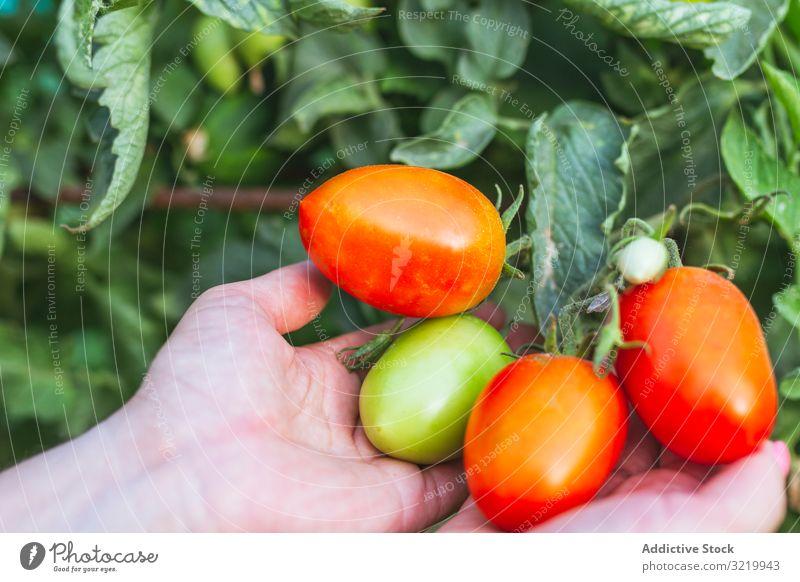 Glänzend rote Tomaten auf grünem Bund in den Händen Gärtner Gemüse frisch reif organisch Ernte Lebensmittel Ackerbau Frau Gesundheit Sommer Beteiligung Wachstum